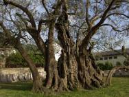 Природа Старое оливковое дерево
